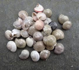 Knoopschelpjes - klein