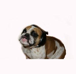protetor-auricular-para-cães