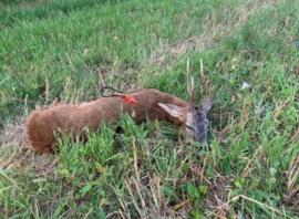 Sam Neyt Belblatt reefiep en vossen lokfluit in één