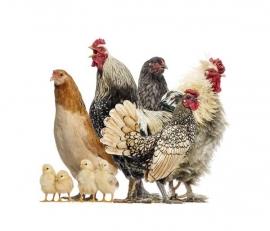 KIP-HAAN POSTERBEHANG - Noordwand Farm Life 3750044/53
