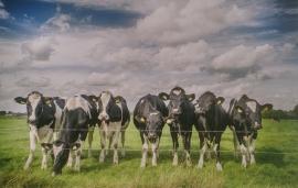 KOEIEN IN DE WEI FOTOBEHANG - Noordwand Farm Life 3750008