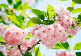 Fotobehang 00133 Sakura Blossom