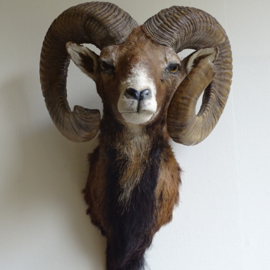 Taxidermy mouflon head