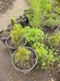 Anastasia Siberische pijnboom pitten boompjes. Helaas uitverkocht!