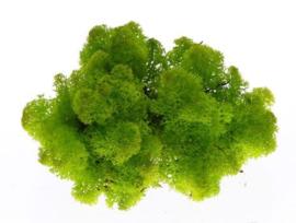 ijslands mos | spring groen