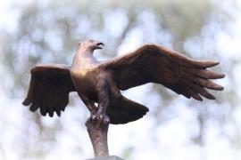 Dreigende roofvogel - visarend