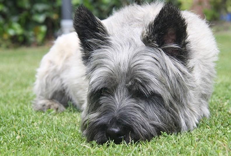 Portret van een hond - Cairn Terrier