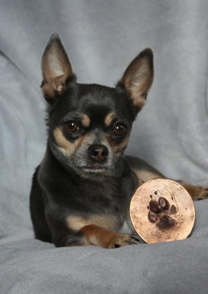 Chihuahua Ralph met bronzen pootafdruk