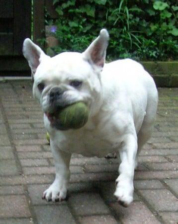 engelse bulldog soraya