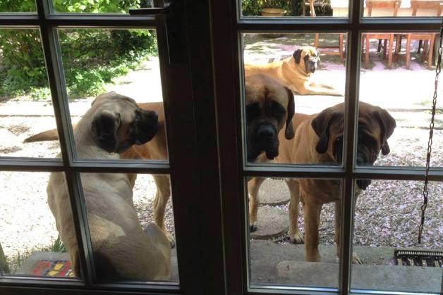 Woefkes van Hillse Mastiffs voor de deur