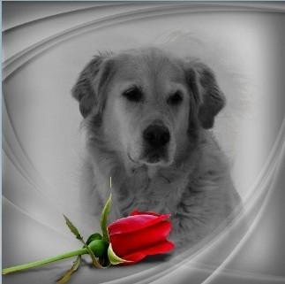 Chloe - Golden retriever - afscheid nemen van je hond