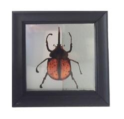 Lijst insect oranje