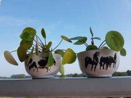 Pannenkoek plant met koeien pot