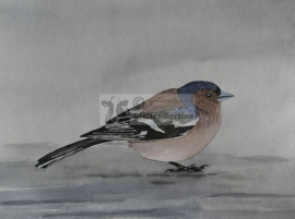 Common chaffinch water color painting
