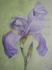 Iris aquarel schilderij