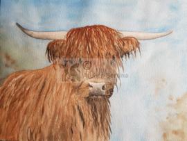 Schotse hooglander aquarel schilderij