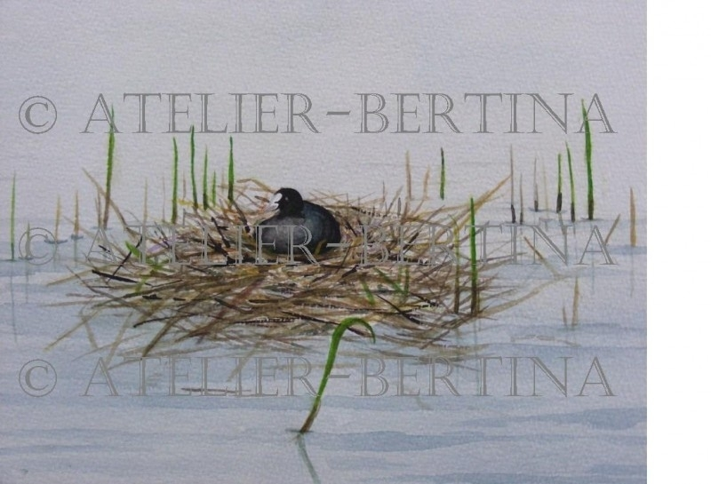 Coot on nest watercolor