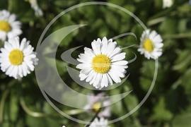 "Madeliefje (bloem),  ""Bellis perenis"" - 10 gram"