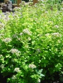 "Marjolein (herba) ""Origanum vulgare"" - 10 gram"