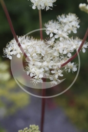 """Moerasspirea (herba) """"Fillipendula ulmaria"""" - 10 gram"""
