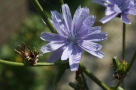 Tinctuur: Cichoreiwortel Ø  -  Cichorium intybus - 100 ml