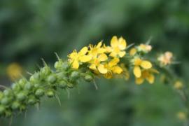 Plant: Agrimonie, Gewone- (Agrimonia eupatoria)