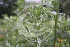"Bijvoet (herba)  ""Artemisia vulgaris"" - 10 gram"