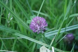 Klaver, Rode- Trifolium pratense -  biologisch 30 gram