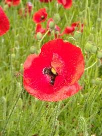 """Klaproos (bloem) """"Papaver rhoeas"""" - 10 gram"""
