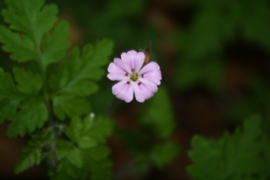 Tinctuur: Robertskruid Ø - Geranium robertianum - 50 ml