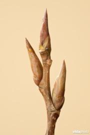 Tinctuur: Populier Ø  - Populus nigra  - 100 ml