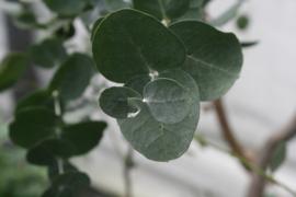 Tinctuur: Eucalyptus Ø  -  Eucalyptus globulus - 100 ml