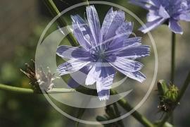 """Cichorei (wortel), """"Cichorium intybus"""" - 10 gram"""
