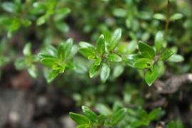 Tinctuur: Bonenkruid Ø - Satureja hortensis  - 100 ml