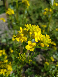 Plant: Barbarakruid (Barbarea vulgaris)