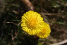 Plant: Hoefblad, klein (Tussilago farfara)