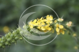 "Agrimonie (herba), ""Agrimonie eupatoria"" - 10 gram"
