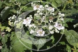 "Braam (blad), ""Rubus fruticosus"" - 10 gram"
