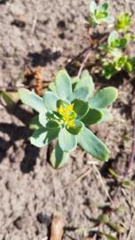 Tinctuur: Rhodiola/Rozenwortel Ø - Rhodiola rosea  - 100 ml