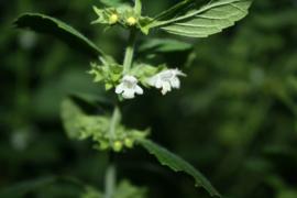 Citroenmelisse (blad) - Melissa officinalis - biologisch 30 gram