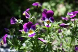 Tinctuur: Viooltje, Driekleurig Ø  - Viola tricolor - 100 ml