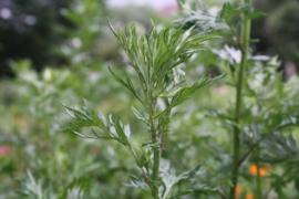Tinctuur (BIO): Bijvoet Ø  - Artemisia vulgaris - 100 ml