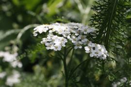 Tinctuur (BIO): Duizendblad Ø - Achillea millefolium  - 100 ml