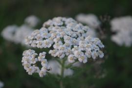 Plant: Duizendblad (Achillea millefolium)