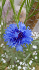 Tinctuur: Korenbloem Ø  -  Centaurea cyanus - 100 ml