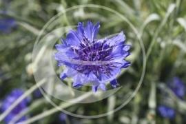 "Korenbloem (bloem), ""Centaurea cyanus"" - 10 gram"