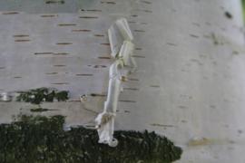 Tinctuur: Berkenbast Ø - Betula alba  - 100 ml