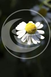 "Kamille (bloem), ""Matricaria chamomilla"" - 10 gram"