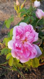 Tinctuur: Roos Ø  -  Rosa damascena - 100 ml