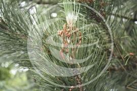 """Den, Grove (naald), """"Pinus sylvestris"""" - 10 gram"""
